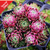 Sempervivum Tectorum 'Jov.Soblifera' - Special Deal