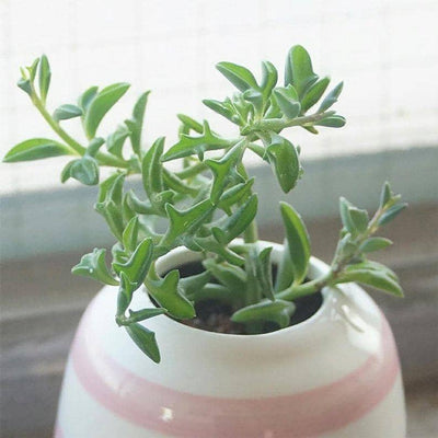 Dolphin Succulent or Senecio Peregrins is a Top Pick Succulent.  Fun Addition that Grows more Shrubby  Hardy Succulent, Super Cool when Bloom!