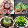 Rose Succulents Special Deal B