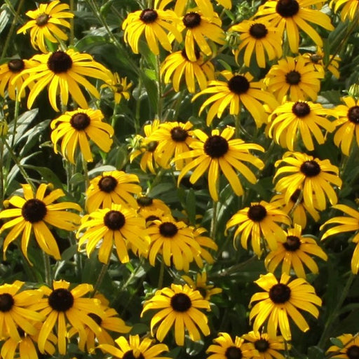 American Gold Rush Black Eyed Susan, 2-Gallon