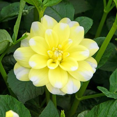 Dahlia, Yellow Perception 3-gal