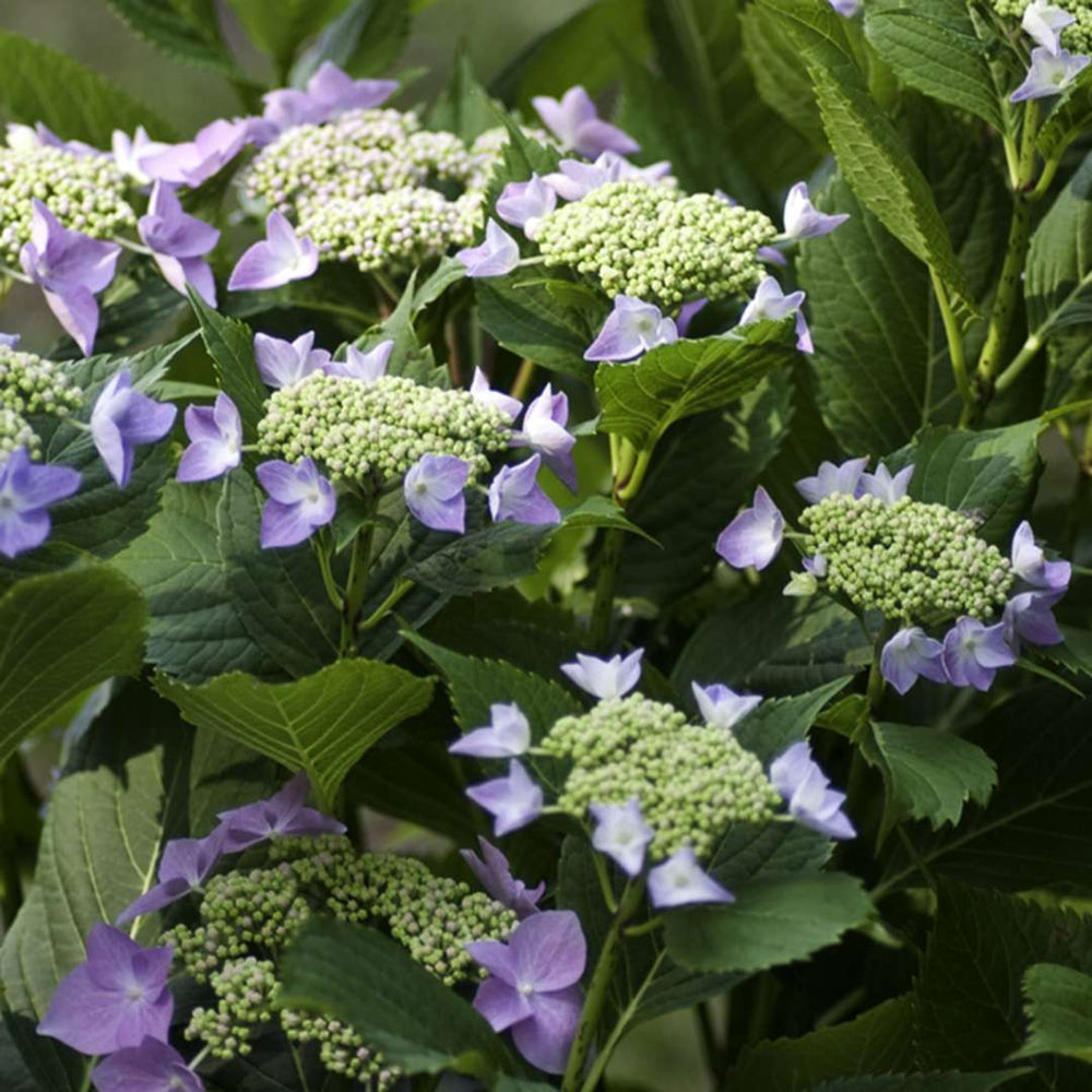 Hydrangea, Let's Dance Starlight 3-Gallon