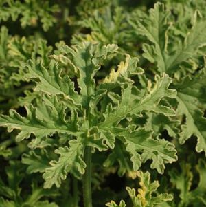 Herb, Lady Plymouth Scented Geranium 1 Gallon