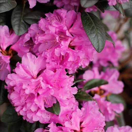 PJM Elite Rhododendron, 2-Gallon