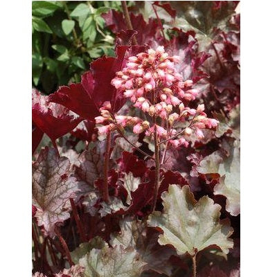 Plum Pudding Coral Bells, 1-Gallon