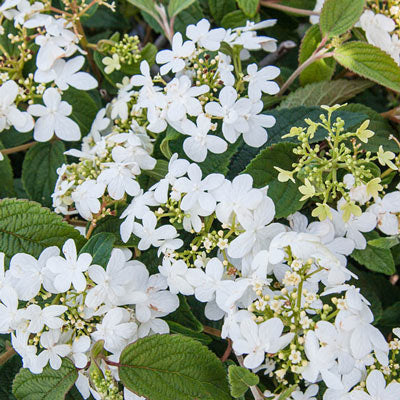 Viburnum, Summer Snowflake 2-Gallon