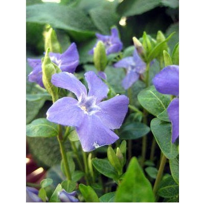 Bowles Periwinkle, 1-Gallon