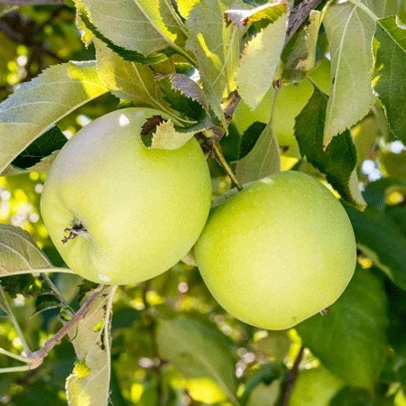 Crispin Apple Tree, 7-Gallon