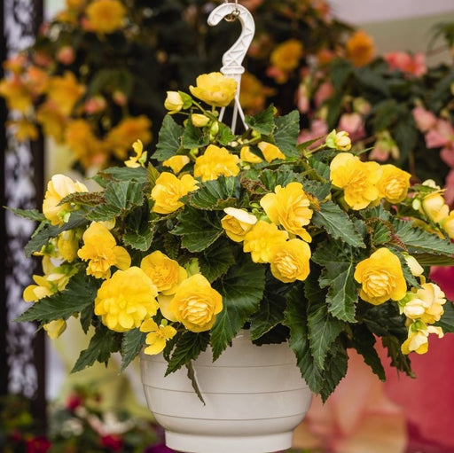 Flowering Hanging Basket - Shade 10-Inch