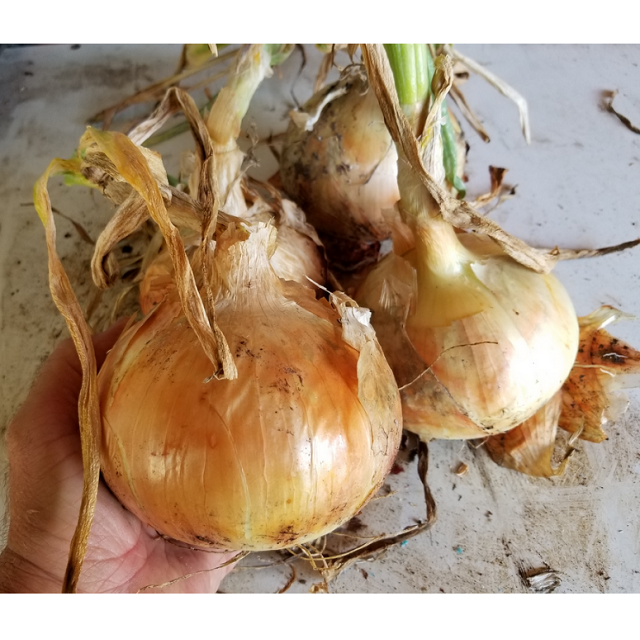 Candy Onion Plants, 1-bunch