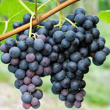 Concord Seedless Grape Vine, 2-Gallon