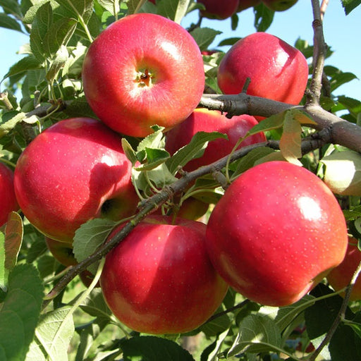 Crimsoncrisp Apple Tree, 7-Gallon