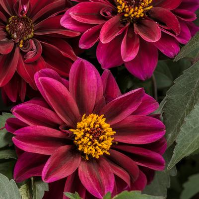 Dahlightful® Crushed Crimson Dahlia, 8-Inch
