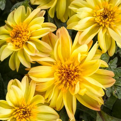 Dahlightful® Tupelo Honey Dahlia, 8-Inch