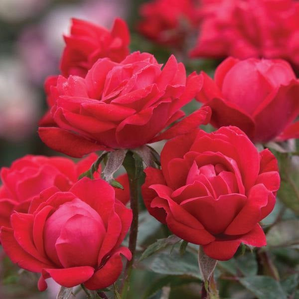 Red Double Knock Out® Rose, 3-Gallon