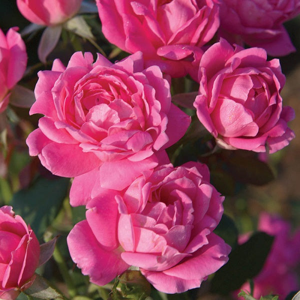 Pink Double Knock Out® Rose, 3-Gallon