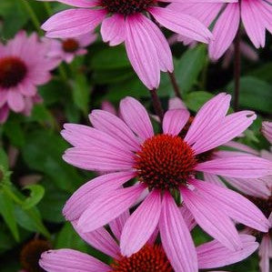 Coneflower, Ruby Star 1-Gallon
