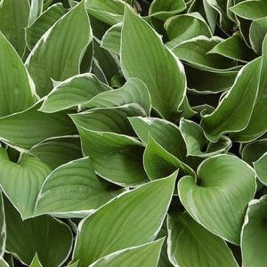 Francee Hosta, 1-Gallon