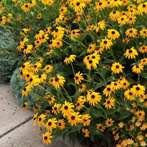Goldsturm Black Eyed Susan, 2-Gallon