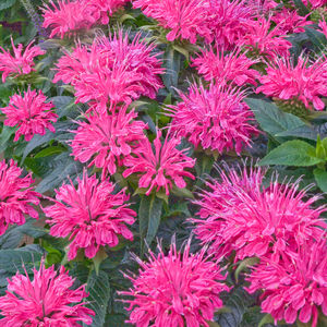 Pardon My Pink Bee Balm, 1-Gallon