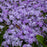 Emerald Blue Moss Phlox, 1-Gallon