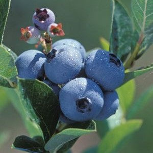 Polaris Blueberry Bush, 2-Gallon