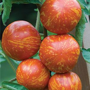 Tomato, Red Zebra 1-Gallon