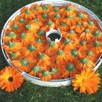Drying_Calendula_Flowers1