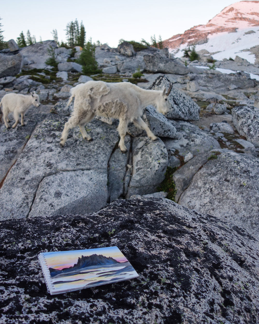 The two mountain goats that watched me paint for a while.