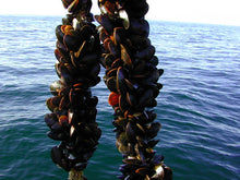 Load image into Gallery viewer, Mediterranean Mussels
