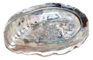 Abalone Shells - Tree Of Life Shoppe