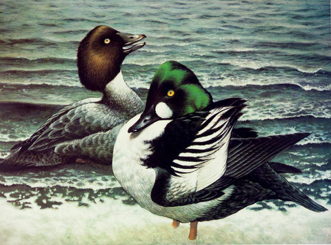 "Goldeneye Pair ""Evening Report"" Print"