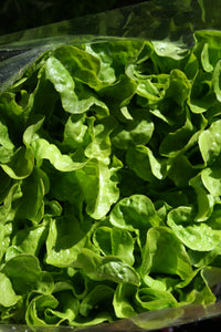 LETTUCE Fresh Local Hydroponic Butterhead