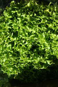 LETTUCE Fresh Local Hydroponic Green Coral