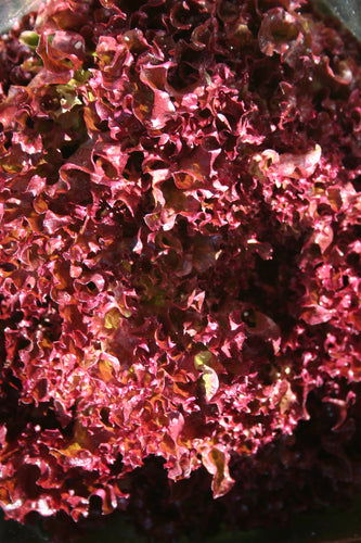 LETTUCE Fresh Local Hydroponic Red Coral