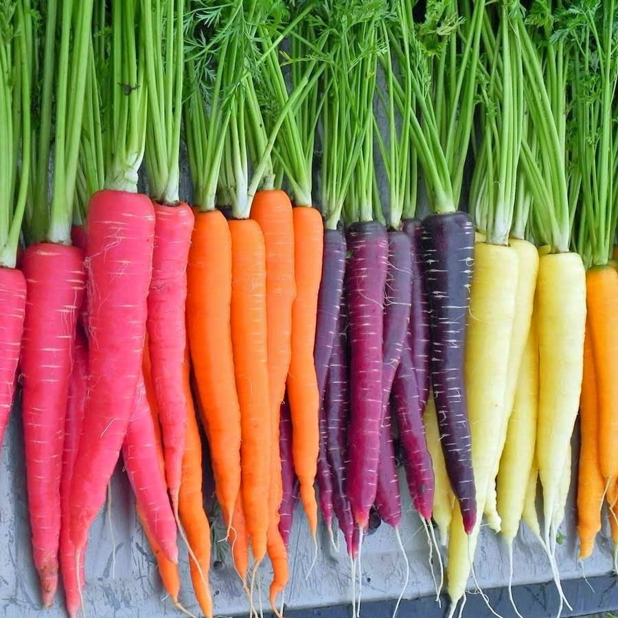 CARROTS Fresh Local Heirloom bunch