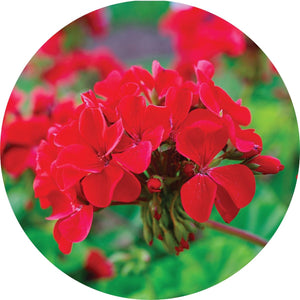 Roses Over Geranium Essential Oil - 5ml