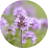 Sweet Thyme Essential Oil - 5ml
