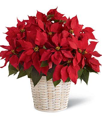 Large Red Poinsettia Basket