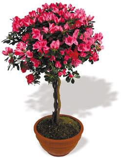 Azalea Topiary Tree