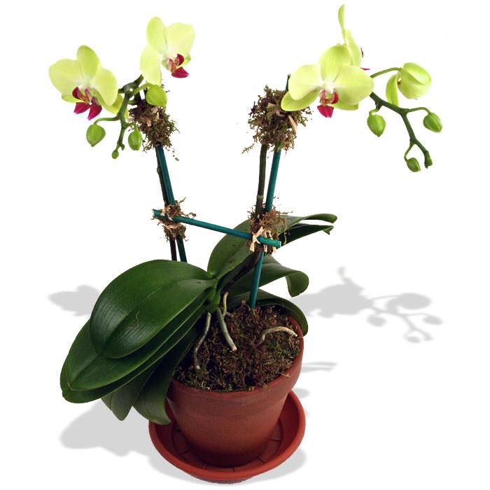 Mini Green Orchid