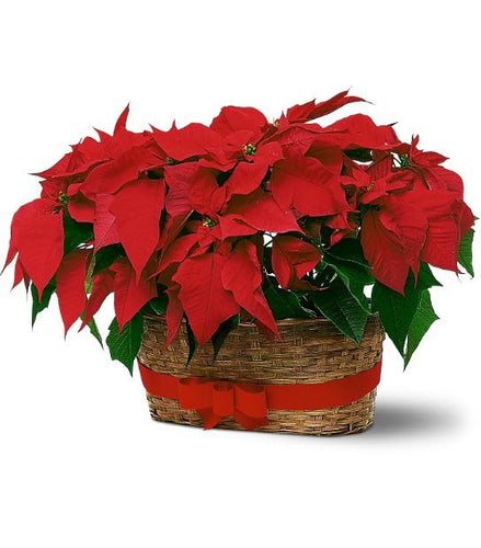 Double Poinsettia Basket