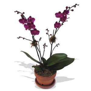Purple Mini Orchid