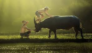 Children playing with water buffalo in Vietnam