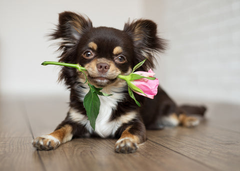 A cute puppy holding a flower