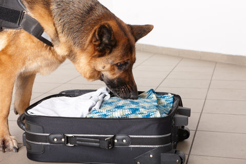 Dog sniffing luggage