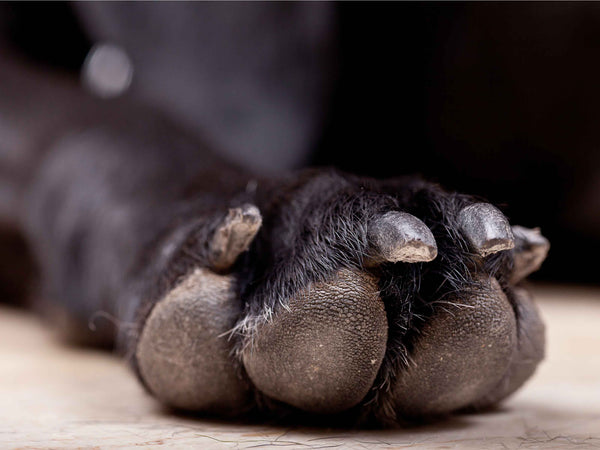 Dog paw care in Winter for healthy dog paws
