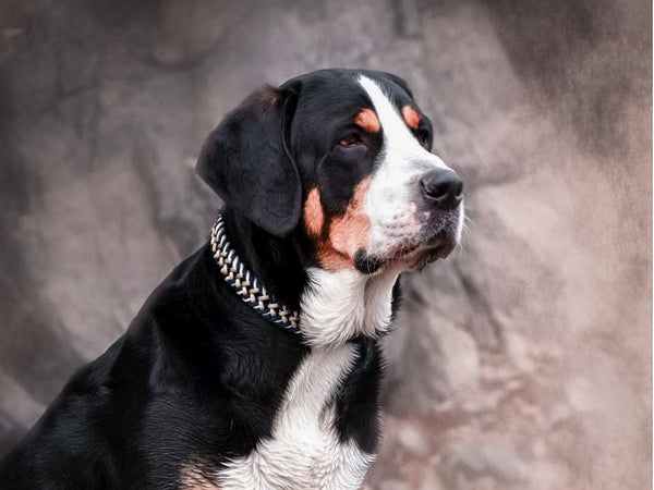 William Walker Swiss Mountain Dog Paracord Halsband
