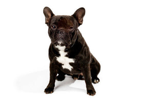 Blue french bulldog puppies for sale and what to know