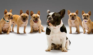 blue French bulldog all in a row